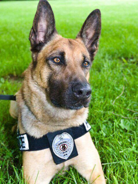 A K9 Hero Named Sgt. Oxx