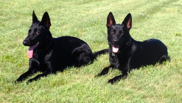 two police K9s