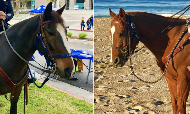 Two police horse mounts assaulted as cops break up large bar fight