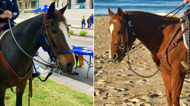 two police horse mounts