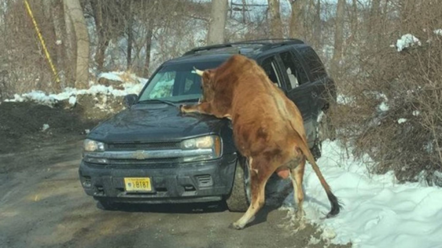 Police put down charging bull after owner injured