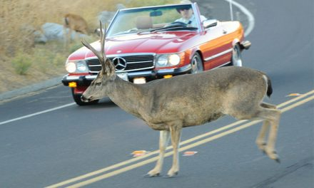 Meals Under Wheels: Should It Be Legal To Eat Roadkill?