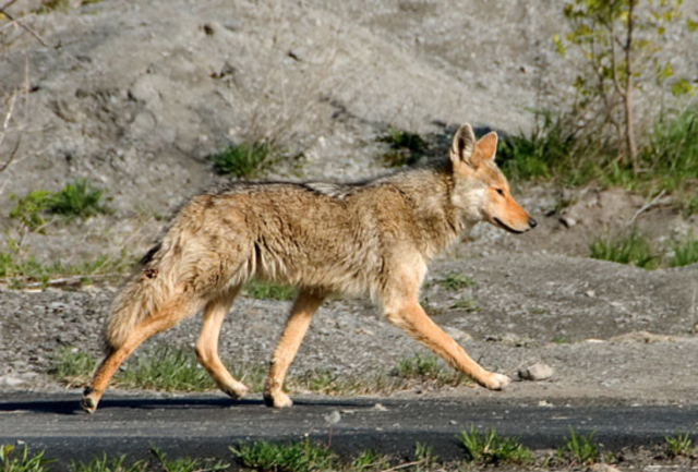 New Nevada Bill for Killing Coyotes Carries Hefty Punishment