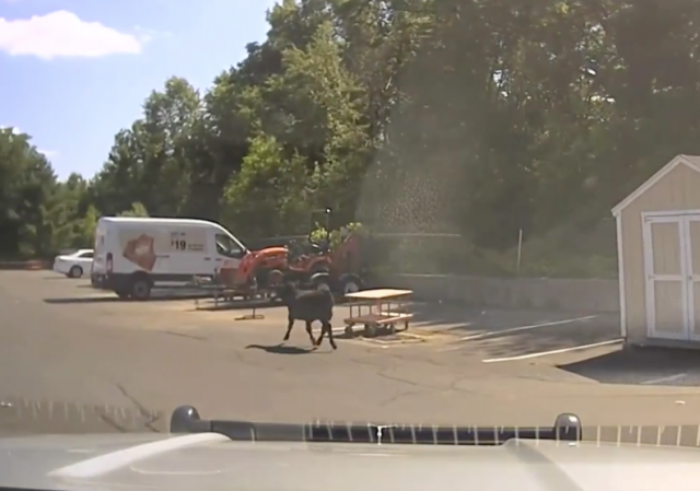 Police: Cow escapes halal butcher.  Goes to Home Depot.  Gets slaughtered in parking lot.