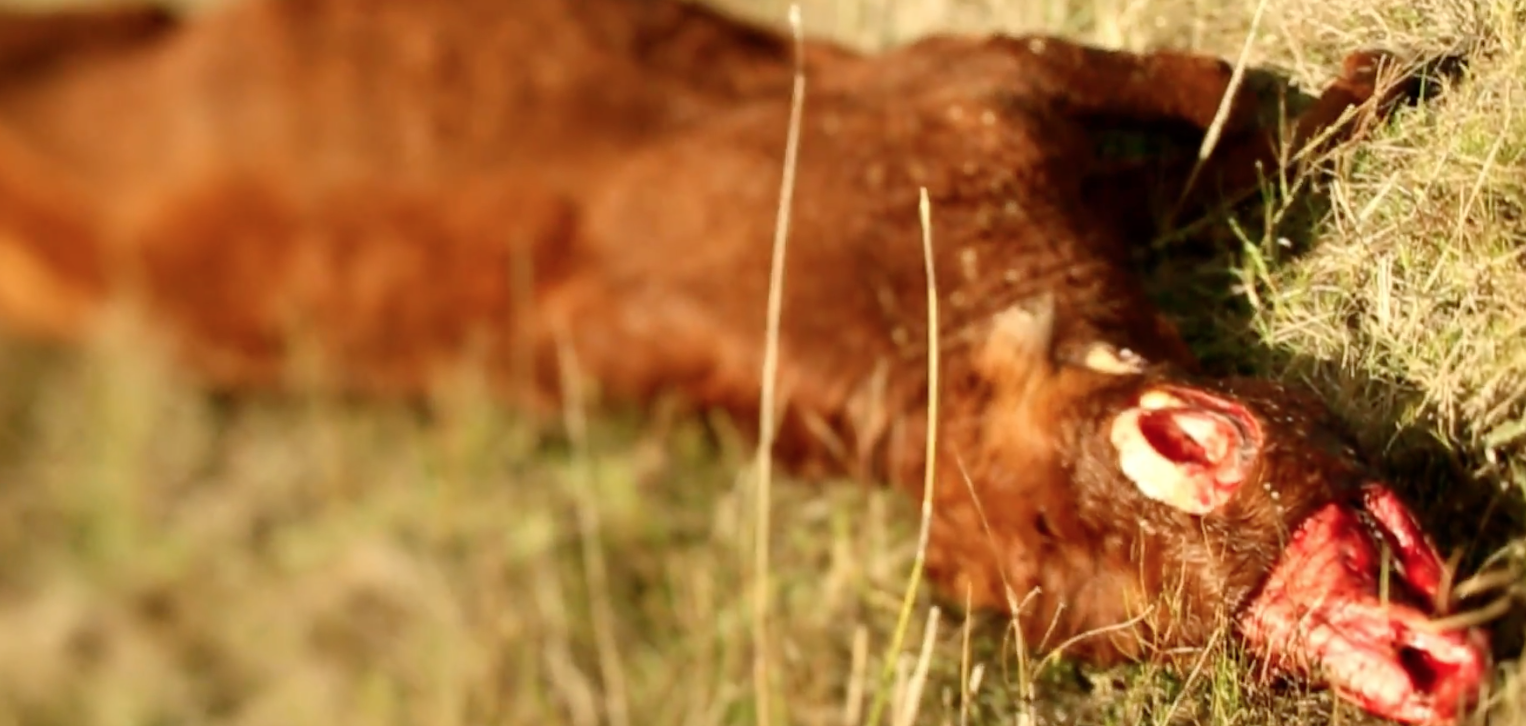 Screenshot from YouTube video of murdered cattle (different investigation)