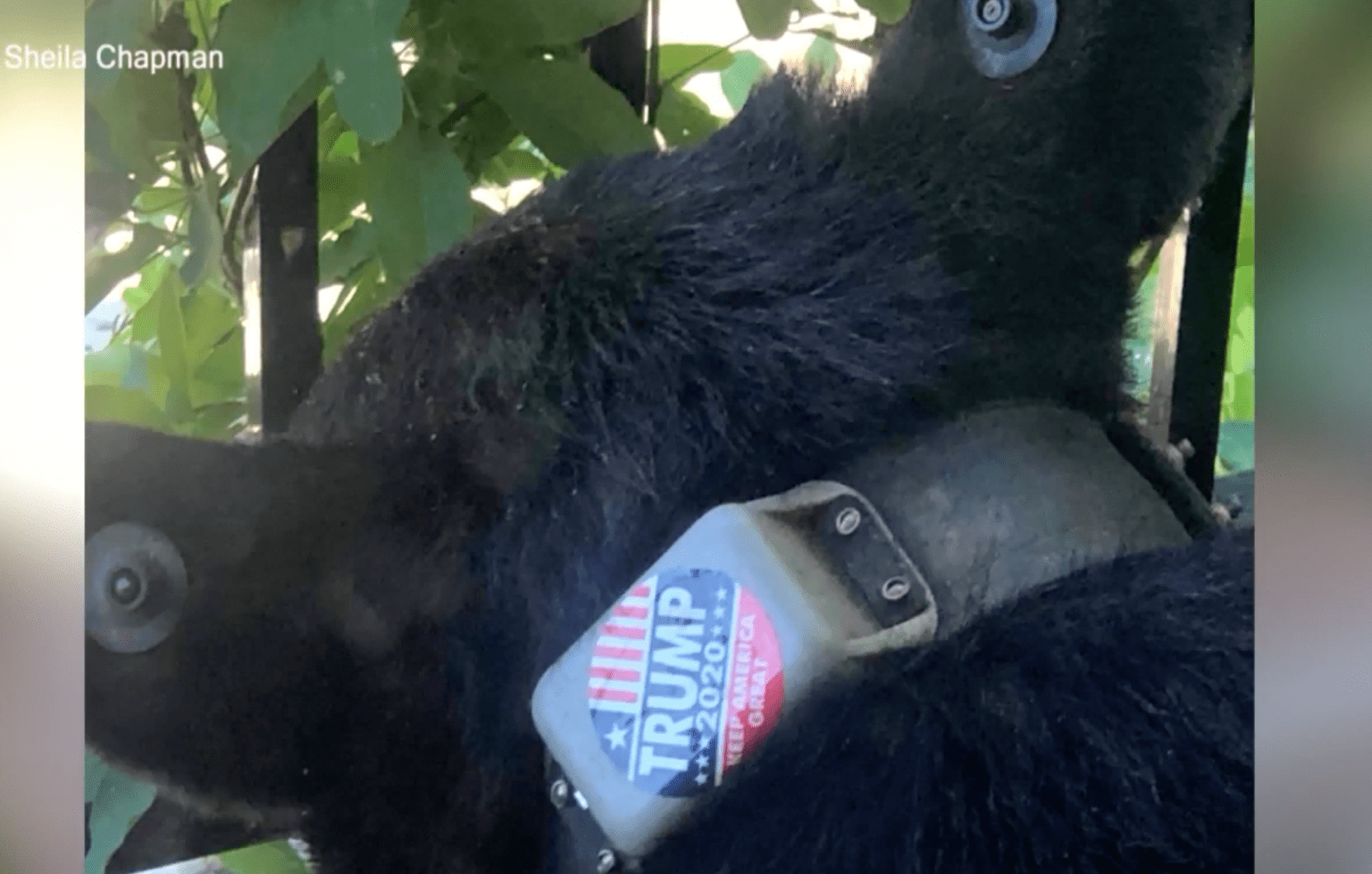 'Animal rights' group offers $5,000 reward to find out who put 'Trump 2020' stick on black bear