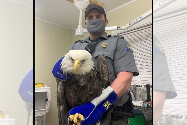 Police asking for help finding suspects after bald eagle 'intentionally shot', officers forced to euthanize it