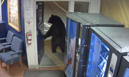 CHP shares video of bear visiting mountain town office